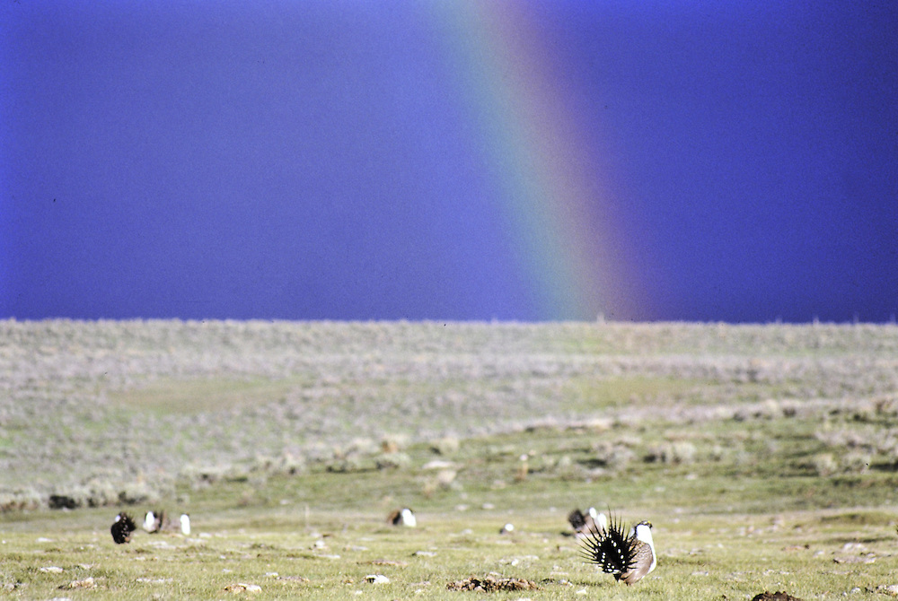 Subordinate males displaying on lek with rainbow. Colorado