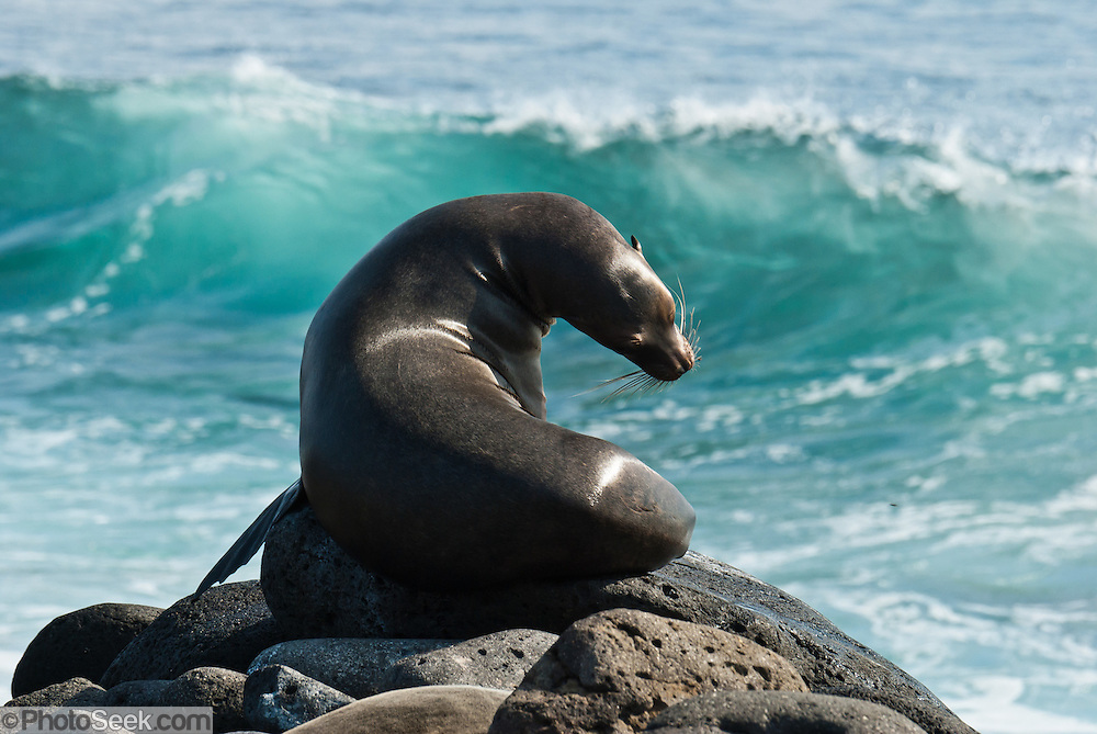 "A Galápagos Sea Lion (Zalophus wollebaeki) watches waves break on North Seymour Island in the Galápagos archipelago, a province of Ecuador, located 972 km west of the continent of South America. This mammal in the Otariidae family breeds exclusively on the Galápagos Islands and in smaller numbers on Isla de la Plata, Ecuador. Being fairly social, and one of the most numerous species in the Galápagos archipelago, they are often spotted sun-bathing on sandy shores or rock groups or gliding gracefully through the surf. They have a loud ""bark"", playful nature, and graceful agility in water. Slightly smaller than their Californian relatives, Galápagos Sea Lions range from 150 to 250 cm in length and weigh between 50 to 400 kg, with the males averaging larger than females. Sea lions have external ear-like pinnae flaps which distinguish them from their close relative with whom they are often confused, the seal. When wet, sea lions are a shade of dark brown, but once dry, their color varies greatly. The females tend to be a lighter shade than the males and the pups a chestnut brown. In 1959, Ecuador declared 97% of the land area of the Galápagos Islands to be Galápagos National Park, which UNESCO registered as a World Heritage Site in 1978. Ecuador created the Galápagos Marine Reserve in 1998, which UNESCO appended in 2001."
