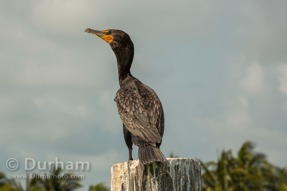 A double-crested cormorant (Phalacrocorax auritus) in Biscayne Bay Naitonal Park, Florida.
