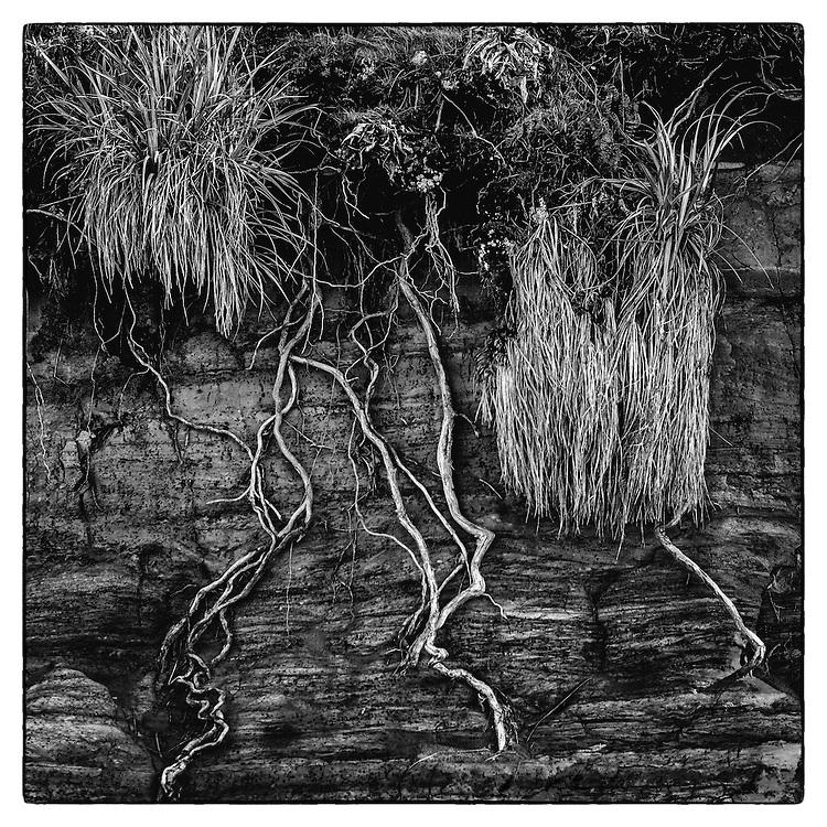 Pohutukawa Roots, Awhitu Regional Park