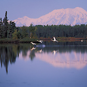 Trumpeteer Swans Land On Lake Kashwitna With Mount Foraker In Distance, Alaska USA