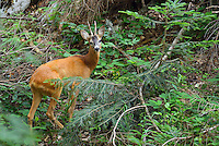 Roe deer male, Capreolus capreolus, Velebit Nature Park, Rewilding Europe rewilding area, Velebit  mountains, Croatia