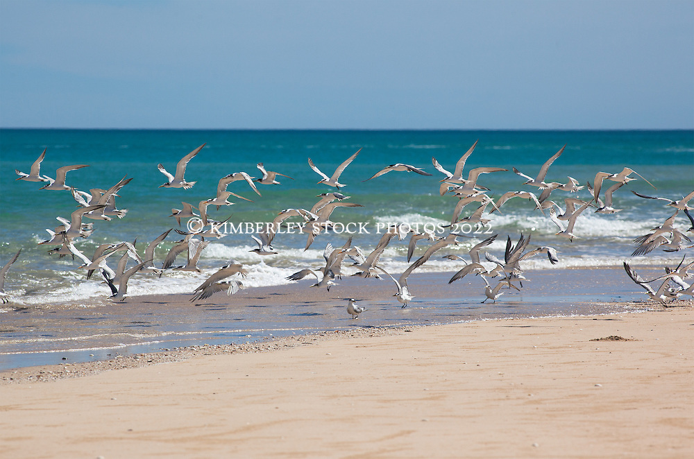 A flock of terns rise from a sandbank near Willie Creek north of Broome