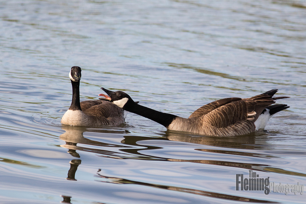 One Canada goose sticking tongue out at another