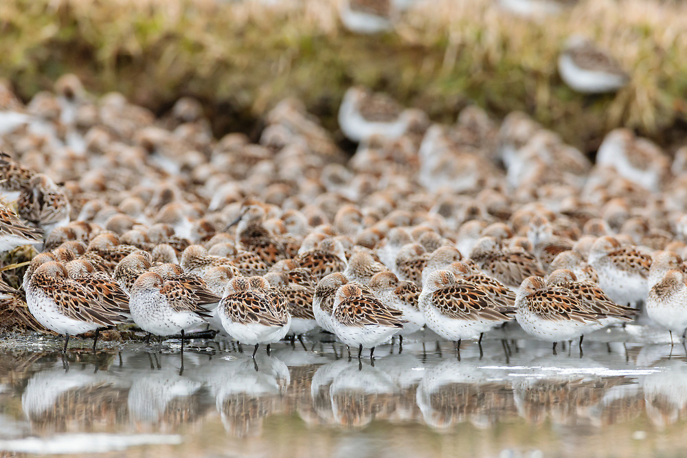 Western Sandpipers (Caldris mauri) resting at Hartney Bay in Cordova in Southcentral Alaska. Spring. Morning.