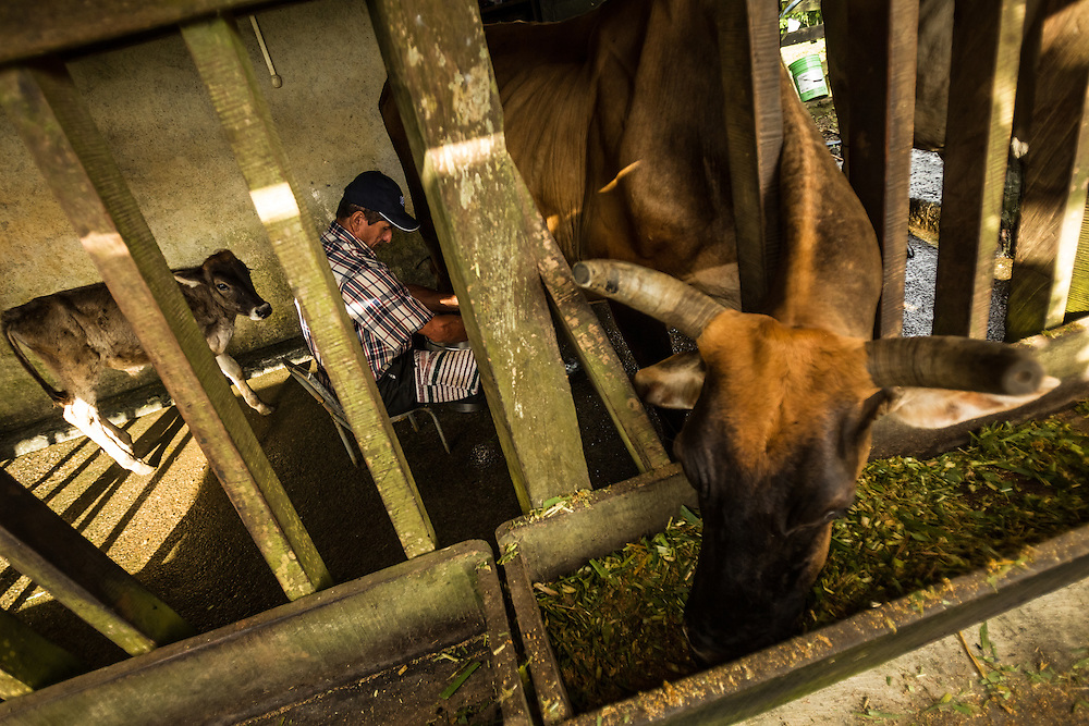 Freddy Rojas Torres milks cows at his dairy farm in San Rafael de Rio Cuarto de Grecia, Costa Rica. Mr. Rojas-Torres has filed dozens of complaints against a neighboring pineapple farm, becuase he says they are producing flies that make his cattle sitck.