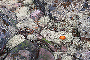 A study of the lichen covered rocks at Wonderland in Acadia National Park, Maine.