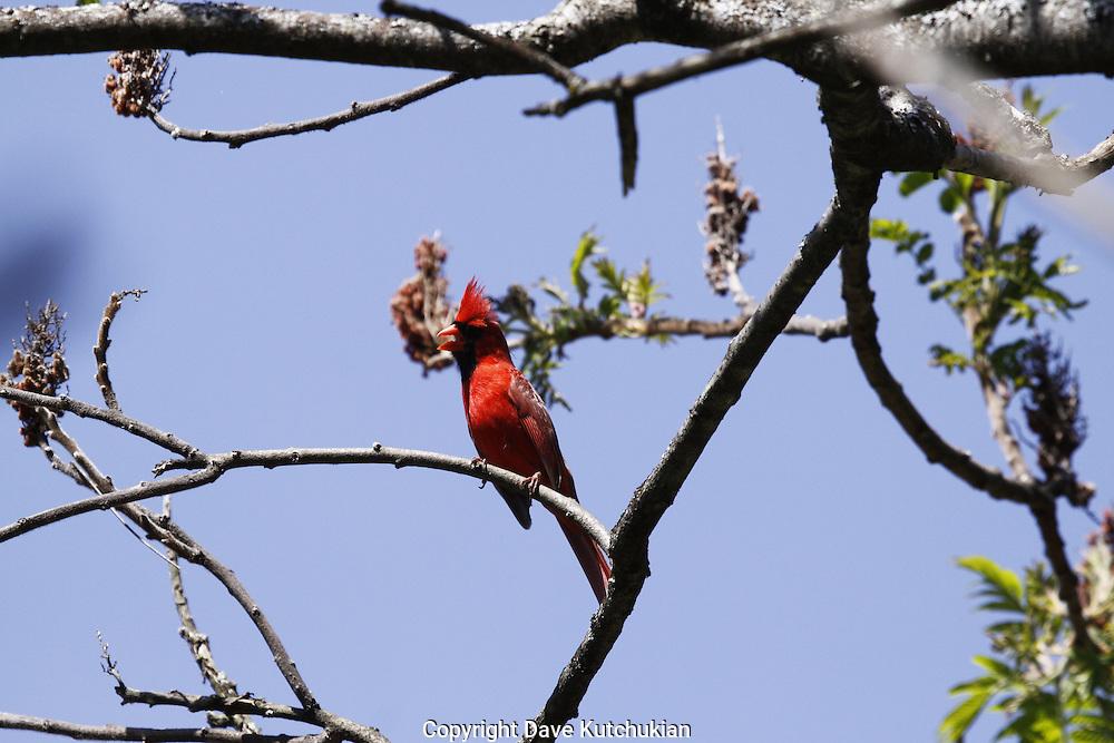 spring calls, male cardinal