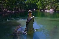 Saltwater crocodiles (Crocodylus porosus) are found in the wild in North Queensland.