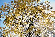 El guayacán es nativo de las Antillas y desde Panamá hasta Venezuela. Generalmente es un árbol pequeño, de hasta 15 pies de altura con uno o más troncos de pocas pulgadas de diámetro.©Victoria Murillo/ Istmophoto.com