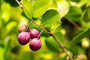 Chrysobalanus icaco, the cocoplum, paradise plum, abajeru or icaco, is found near sea beaches and inland throughout tropical Africa, tropical Americas and the Caribbean, and in southern Florida and the Bahamas. Photographed in Seychelles