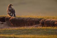 Steppe Eagle, Aquila nipalensis, Bayanbulagu Gatcha, grassland steppe, Inner Mongolia, China