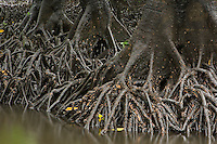 Low tide reveals the roots of Bruguiera mangroves along a river channel.