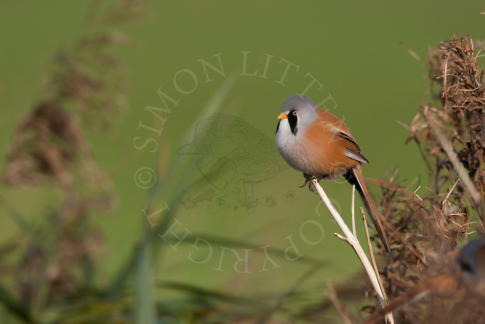 Bearded Tit (Panurus biarmicus) adult male perched, Norfolk, UK.