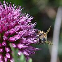Honey Bee on a chive blossom.