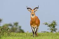 Male Ugandan kob (Kobus kob thomasi) , Murchison Falls National Park, Uganda