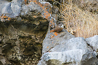 Brightly colored, yet perfectly camoflaged, the somewhat rare canyon wren blends in perfectly with the lichen encrusted baslast cliffs of White Pass, above the Teiton River.