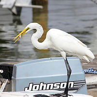 Great Egret eating fish on a boat