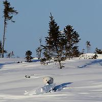 Polar bear cub poking its head out of the den in Wapusk National Park near Churchill, Canada.