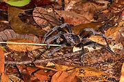 Orange-Fringen Tiger Tarantula (Cyriopagopus doriae) from Tanjung Puting National Park, Kalimantan, Borneo