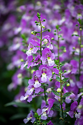 Angelonia Archangel 'Blue Bicolour'