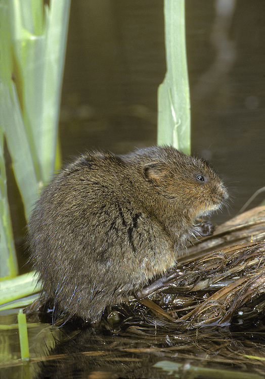 Water Vole Arvicola terrestris Length 20-32cm Charming waterside mammal, equally at home in water or on a river bank. Adult has plump body and reddish brown fur. Head is relatively large and rounded. Front feet grasp vegetation while eating. Hind feet are used for swimming. Tail is bristly and relatively shorter than Brown Rat, which has a naked tail. Mostly silent. Likes clean, slow flowing or still waters with marginal vegetation and steep, muddy banks into which it burrows. Thrives only where habitat is maintained and predatory American Mink are controlled.