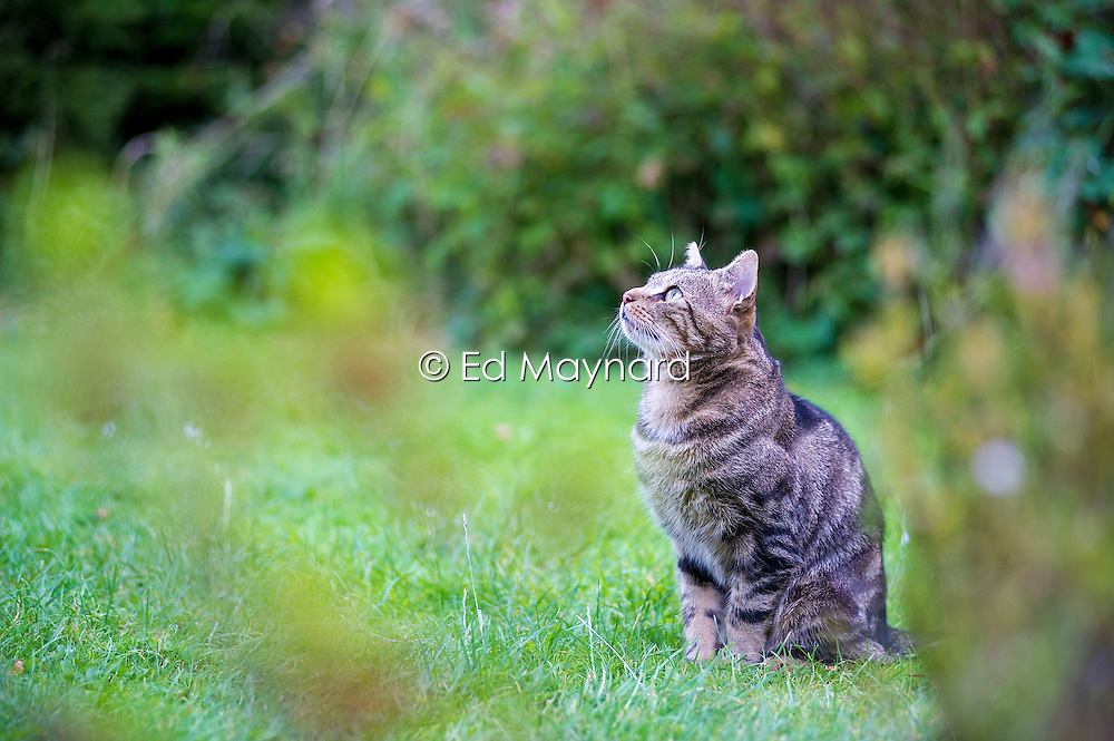 Feral male tabby cat in a suburban garden, England, United Kingdom.