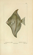 Psettus from Histoire naturelle des poissons (Natural History of Fish) is a 22-volume treatment of ichthyology published in 1828-1849 by the French savant Georges Cuvier (1769-1832) and his student and successor Achille Valenciennes (1794-1865).