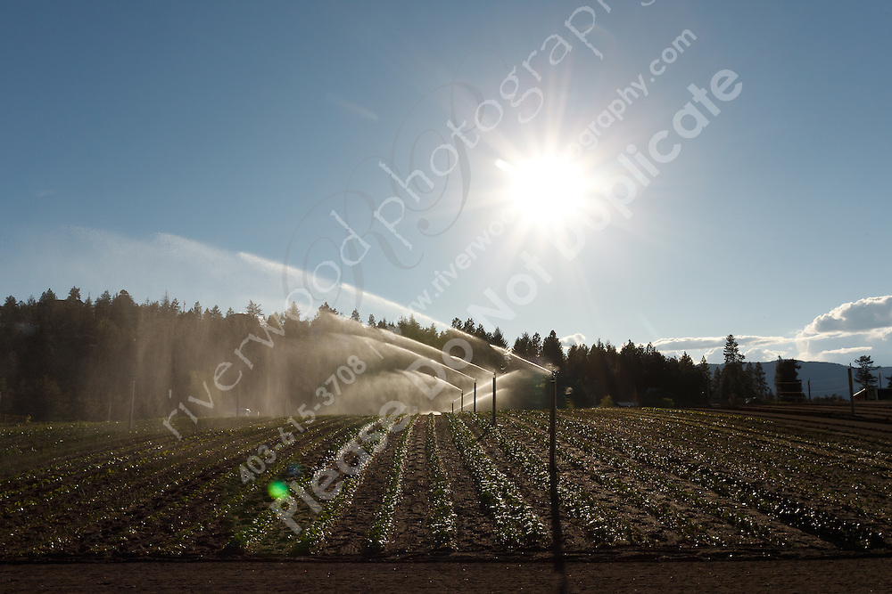 An overhead irrigation system sprays a vegetable farm in Winfield, north of Kelowna, BC. The jets of water from each sprinkler head are backlit and sparkle in the spring sunshine. ..©2011, Sean Phillips.http://www.RiverwoodPhotography.com