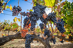 March 6, 2015 - Stellenbosch, Western Cape, South Africa - Stellenbosch, South Africa -  grapes (Credit Image: © Edwin Remsberg/VW Pics via ZUMA Wire)