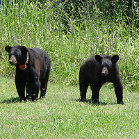 Photo by Roger Larson/Courtesy MDWFP<br /> These two black bears, a sow and her cub, were photographed in a yard near Columbus two years ago. Note the orange radio tracking collar on the female bear on left.