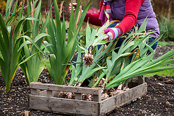 Lifting gladiolus bulbs before storing in a box over winter months