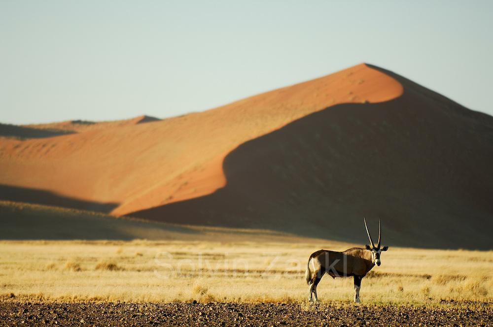 Am Rande der berühmten roten Sanddünen von Sossusvlei liegen grasbedeckte Ebenen, die nur nach den sehr seltenen Regenfällen ergrünen. Oryxantilopen (Oryx gazella) und andere große Pflanzenfresser Namibias können hier beobachtet werden.    Oryx in the dunes (Oryx gazella) Namib Naukluft National Park - Sesriem Sossusvlei sand dune