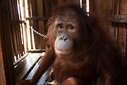 Freedom at last for the orangutan who had 'given up on life': Ape is released from tiny crate where it was chained up with just a scrap of cloth it used as a comfort blanket <br /> <br /> She is now in a rehabilitation centre in Ketapang, West Borneo.  <br /> <br /> Her owner told a team from International Animal Rescue that Amy had been in the cage for a month and had been allowed to roam around the house before. <br /> <br /> But rescuers think that it was trapped for much longer. <br /> <br /> The group were alerted to Amy's plight by local group Yaysan Palung. <br /> <br /> The ape refused to look at vet Sulhi Aufa when she was found in the crate.<br /> <br /> It was slumped against a wall and had blank eyes. <br /> <br /> But when the vet touched her, it held her hand.  <br /> <br /> Karmele L Sanchez, Programme Director of IAR Indonesia, said: 'This is a serious animal welfare problem.  <br /> <br /> 'Many orangutans in this area are treated worse than dogs, chained all their lives and living in deplorable conditions. <br /> <br /> You can see the sadness in Amy's eyes. If we hadn't rescued her, she would have suffered all her life, chained up until the day she died.'<br /> <br /> Alan Knight, IAR Chief Executive, said: 'This is a tragic tale of cruelty and neglect. <br /> <br /> It will require plenty of time and patience for Amy to recover and it is still doubtful as to whether she will ever recover sufficiently to be a candidate for release back into the wild.'<br /> <br /> Sanchez added: 'It's high time people realised that, if they keep breaking the law by capturing orangutans and keeping or selling them as pets, then the species will soon become extinct.<br /> <br /> 'Anyone who is offered an orangutan as a pet should certainly not buy it. <br /> <br /> They should immediately contact the authorities and report the person trying to sell it. <br /> <br /> And if people are not willing to cooperate by surrendering the orangutan and persist in breaking the law, then the necessary action must be taken to enforce it.' <br /> <br /> During the first four days at the rescue centre, Amy only ate two bananas and drank some milk. <br /> <br /> It is likely that Amy spent her