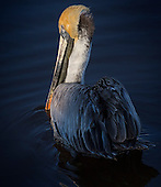Birds Pelicans, Anhingas, and Cormorants