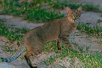 African wildcat, Nxai Pan National Park, Botswana.