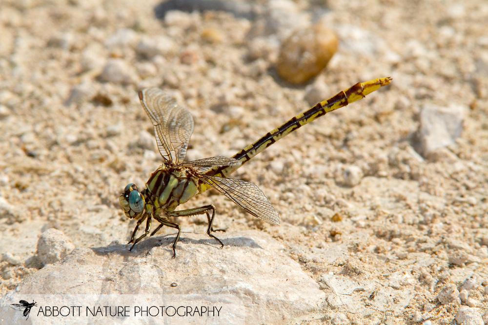 Sulphur-tipped Clubtail (Phanogomphus militaris) - female<br /> TEXAS: Hidalgo Co.<br /> NABA International Butterfly Park; Mission<br /> 28-May-2010<br /> J.C. Abbott