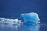 A Bald Eagle perched on a iceberg.  Holkham Bay, Southeast Alsaka.