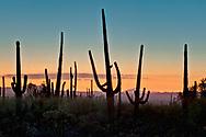 Saguaro cactus in a national park, Saguaro National Park, Arizona, USA (Carnegiea gigantea), sunset