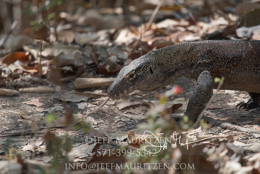 A Komodo dragon walks through the forest on Rinca Island, part of the Komodo National Park in Indonesia.