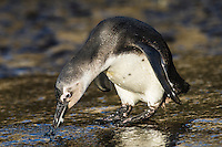 Juvenile African Penguin inquisitivley investigating a blue bottle that has washed ashore, Bird Island, Algoa Bay, Eastern Cape, South Africa