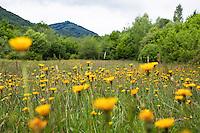 Flowering Meadow with Hieracium spec., Dolina Udavy, Western Carpathians, Eastern Slovakia, Europe