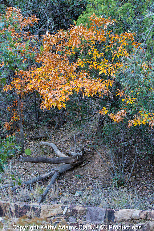 Oak leaves, autumn, Big Bend National Park, Chihuahuan Desert, west Texas