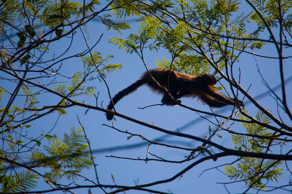 Sao Jose do Rio Preto_SP, Brasil...Programa Biota da Unesp, na foto um macaco...The Biota program of Unesp, In this photo a monkey.. .FOTO: JOAO MARCOS ROSA / NITRO