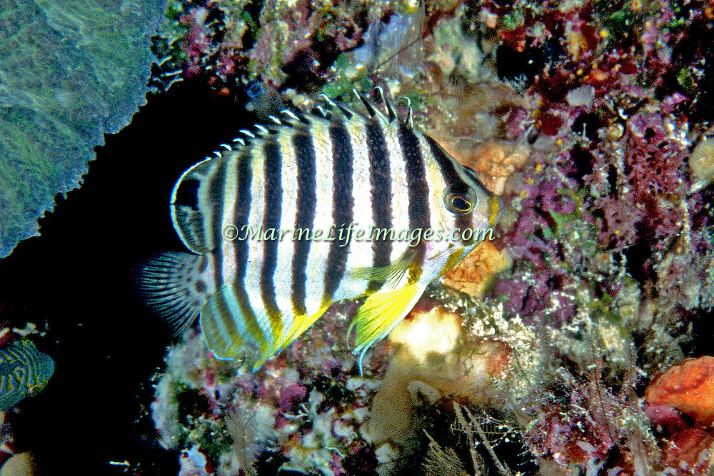 Multi-Barred Angelfish inhabit reefs. Picture taken PNG