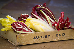 Forced Chicory 'Witloof' and 'Rossa di Treviso' in a wooden seed tray. Cichorium