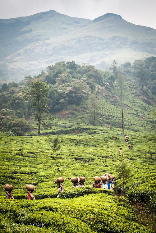 Tea pickers return to the leaf collection shed with their pickings in the hills below Chembra Peak, Wayanad, Kerala