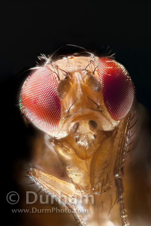 Portrait of a female spotted wing fruit fly. An introduced pest species in North America, the spotted wing fruit fly (Drosophila suzukii) feeds and breeds on fresh berries such as rasberries, strawberries and cherries – unlike most fruit flies that infest decaying and rotting fruit. Drosophila suzukii is a substantial pest for berry and fruit farmers. © Michael Durham / www.DurmPhoto.com