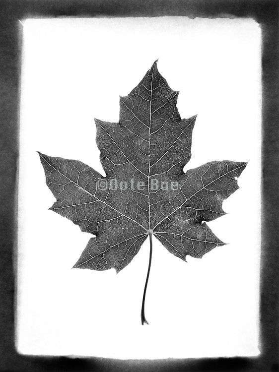 A pressed leaf against a white background