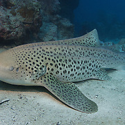Zebra shark lying on sandy bottom at a reef located in Wolverine Passage, part of the Barrier Reef of Papua New Guinea